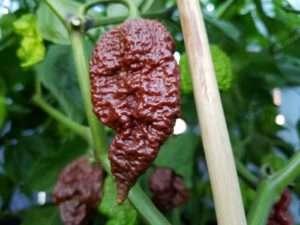 Trinidad Scorpion Chocolate